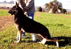 American Show Dog, Debonair's Amistad
